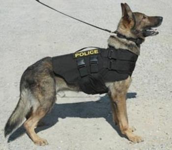 Fawn Pug Dog Wearing Police K9 Stock Photo 470399432 - Shutterstock